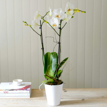 white twin stemmed orchid