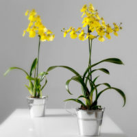 original_yellow-dancing-lady-orchid
