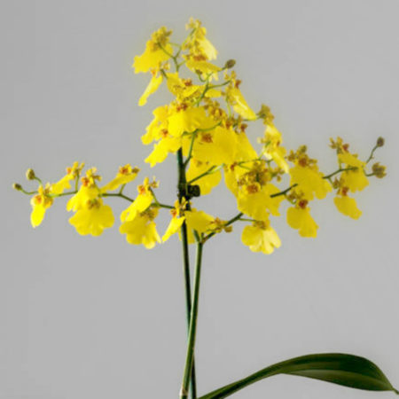 original_yellow-dancing-lady-orchid plant