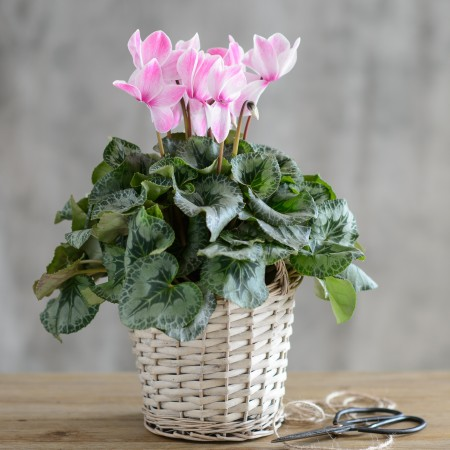 Pink Cyclamen Flowers In Wicker Basket