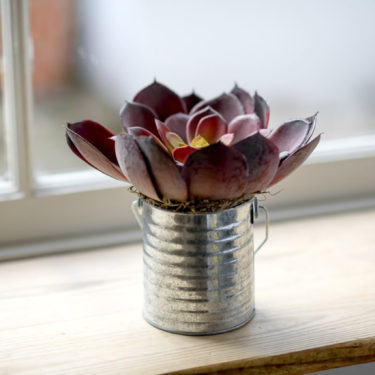AUBERGINE SUCCULENT WITH VINTAGE TIN