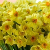 100 WINTER ENGLISH GROWN NARCISSUS STEMS