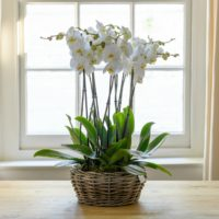 DELUXE PHALENOPSIS WILLOW PLANTER