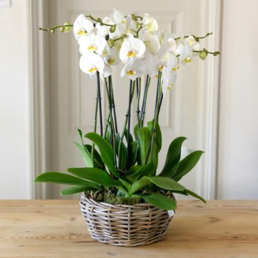 SEVEN PLANTED PHALENOPSIS LARGE WOVEN BASKET PLANTER
