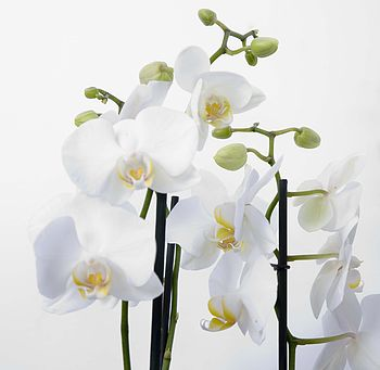normal_orchid-living-plant-gift1
