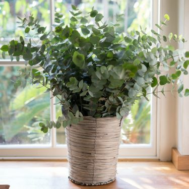 FRAGRANT GREEN EUCALYPTUS BUNCH