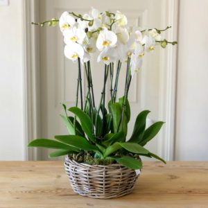 SEVEN-PLANTED-PHALENOPSIS-LARGE-WOVEN-BASKET-PLANTER-2