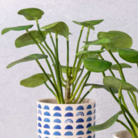 FAUX CHINESE MONEY PLANT IN HAND PAINTED POT