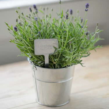 LITTLE GARDEN LAVENDER PLANT WITH BUCKET