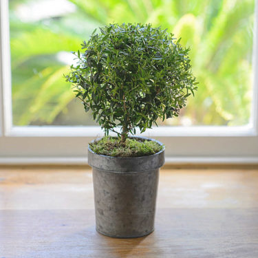 LITTLE POTTED MYRTLE TREE