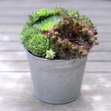 MIXED SUCCULENT BUCKET
