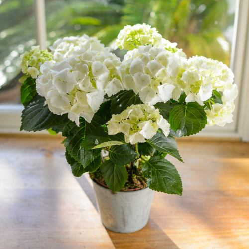 Plant ~ White Hydrangea Potted Plant