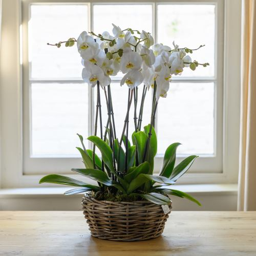 Orchid ~ Luxury Orchid Arrangement