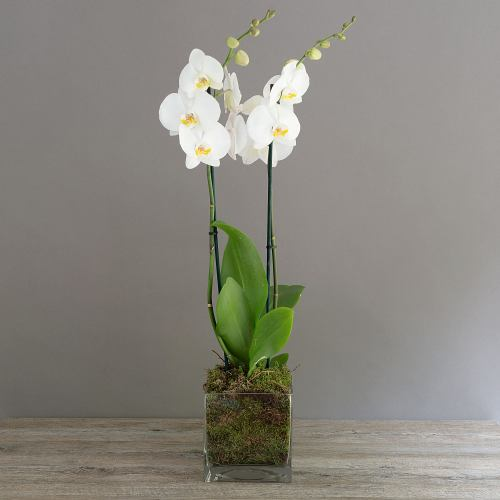 Orchid ~ Twin Phalaenopsis Glass Cube
